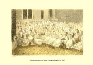 Lincolnshire Geese at Home Photograph Dec 10th 1877